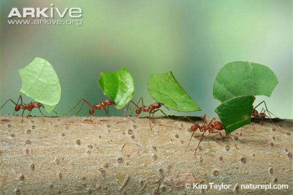 Figura x: hormigas cortadoras de hojas del género Atta. Fuente: www.arkive.org.
